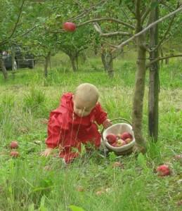 Æbleplukning er sjovt i alle aldre
