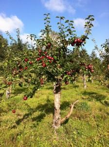 Æbletræ i Strandbakkens Frugtplantage