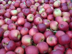 Æbler fra Strandbakkens Frugtplantage
