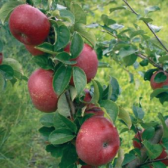 Aroma æbler fra Strandbakkens Frugtplantage