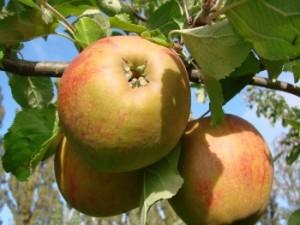 Belle de Boskoop æbler fra Strandbakkes Frugtplantage