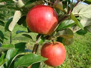 Bellida æbler fra Strandbakkens Frugtplantage