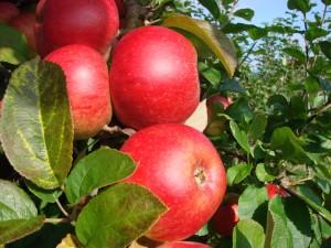 Cox Pomona æbler fra Strandbakkens Frugtplantage