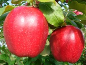 Gloster æbler fra Strandbakkens Frugtplantage