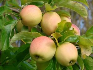 Golden Delicious æble fra Strandbakkens Frugtplantage