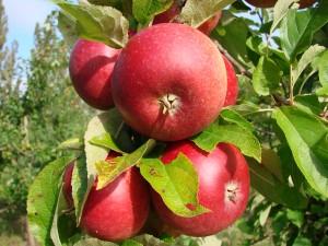 Ingrid Marie æble fra Strandbakkens Frugtplantage