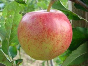 Initial æble fra Strandbakkens Frugtplantage