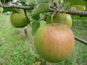 Jonagold Red æbler fra Strandbakkens Frugtplantage