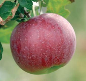Lobo æble fra Strandbakkens frugtplantage