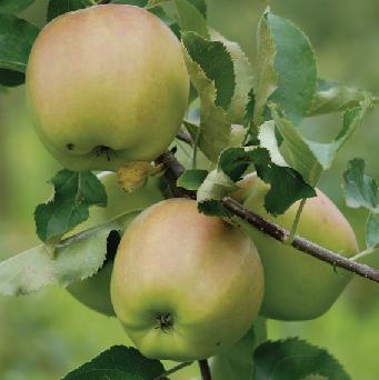 Mutzu æbler fra Strandbakkens Frugtplantage