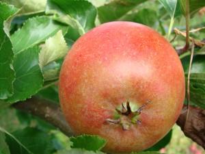 Queen Cox æbler fra Strandbakkens Frugtplantage