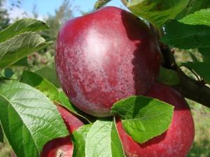 Spartan æbler fra Strandbakkens Frugtplantage